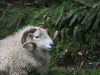 Welsh-mountain ram